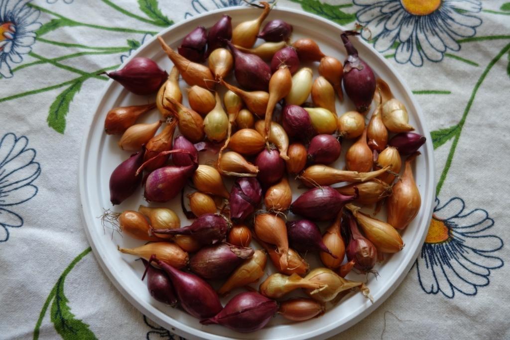 лук-севок разных сортов