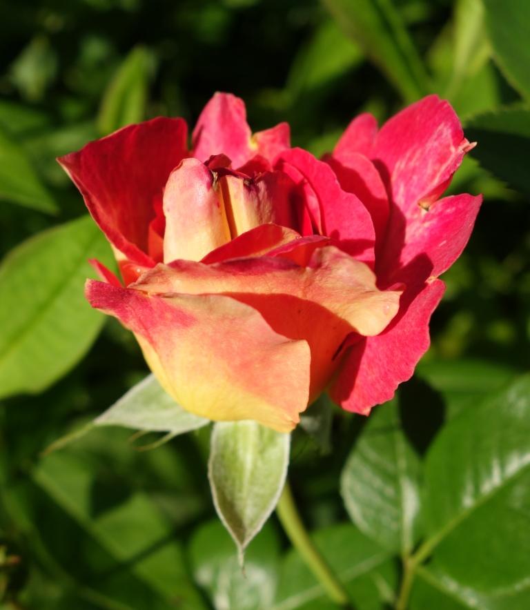 роза Арлекино