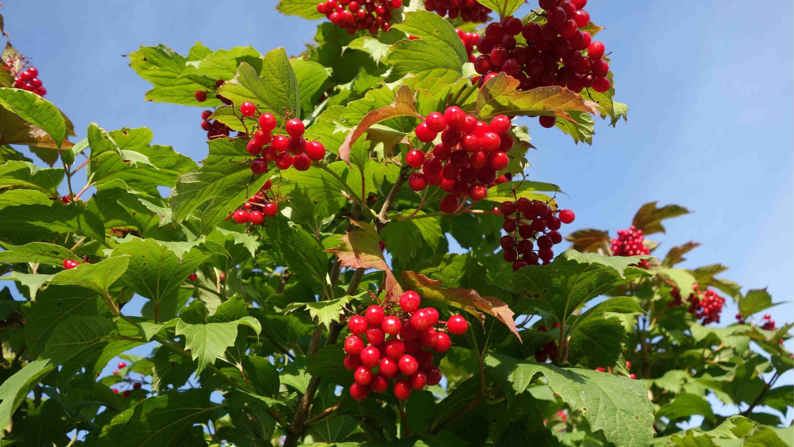 Калина фото дерева с плодом