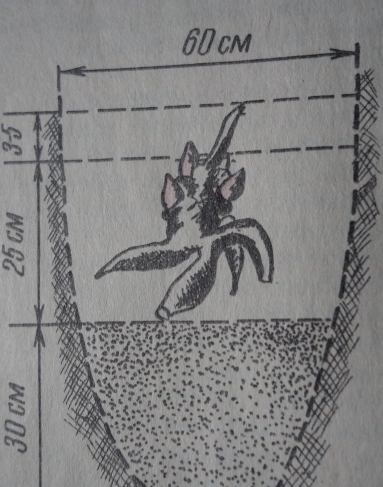 схема посадки пиона