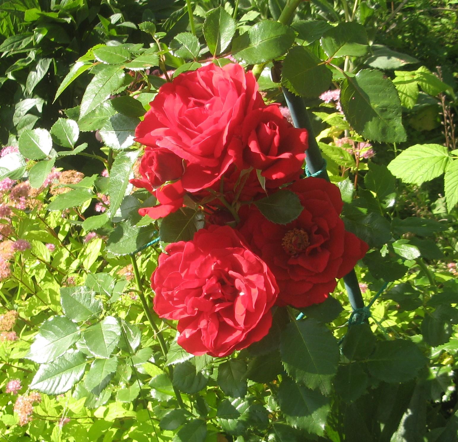 роза плетистая бордовая