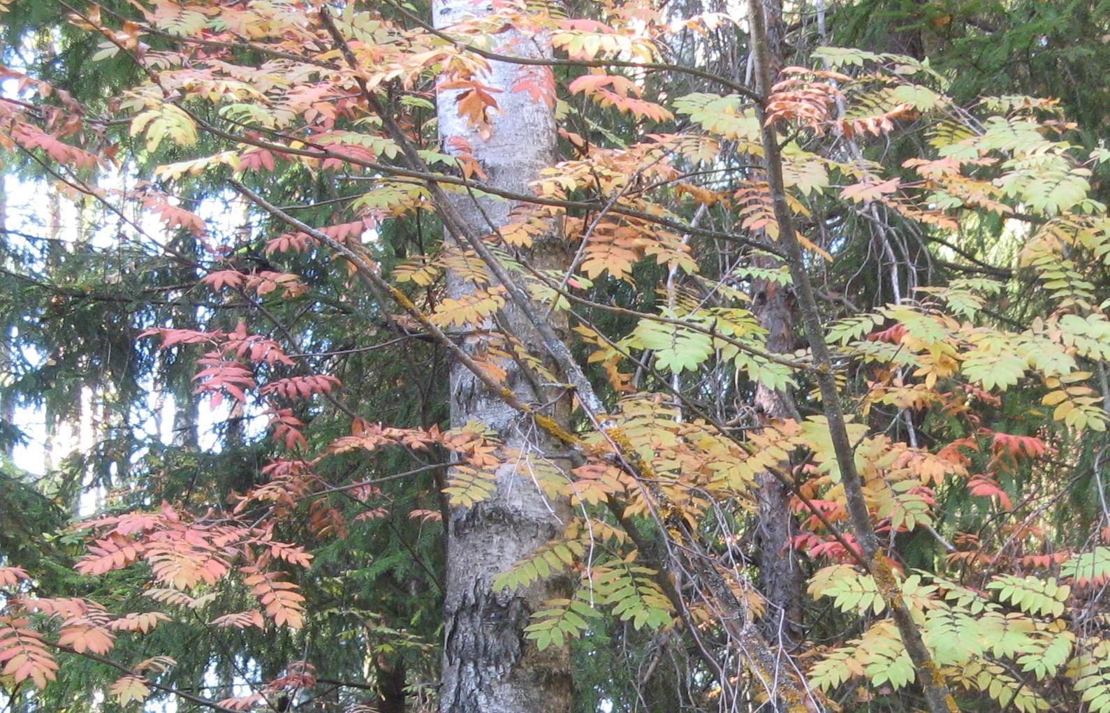рябина красная - листва