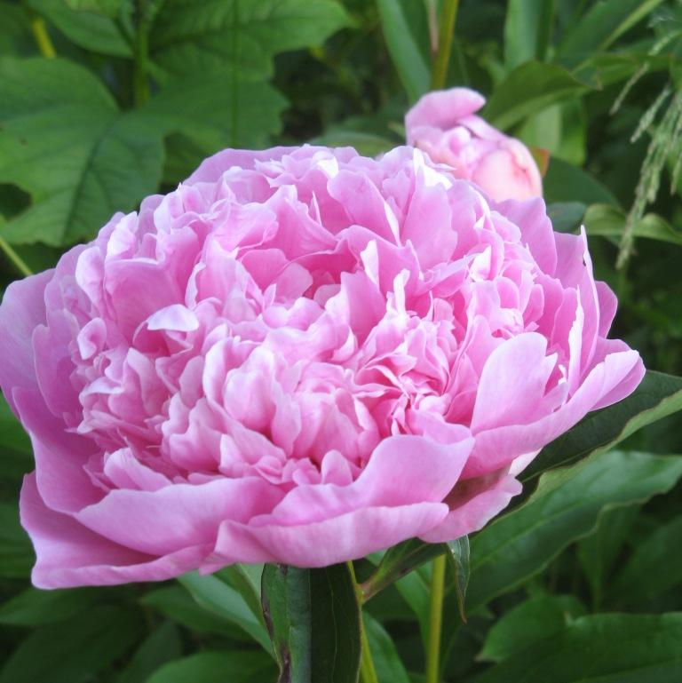 """""""розовое мороженое"""" цветок пиона"""