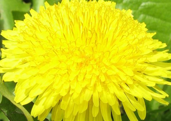 Цветок одуванчика