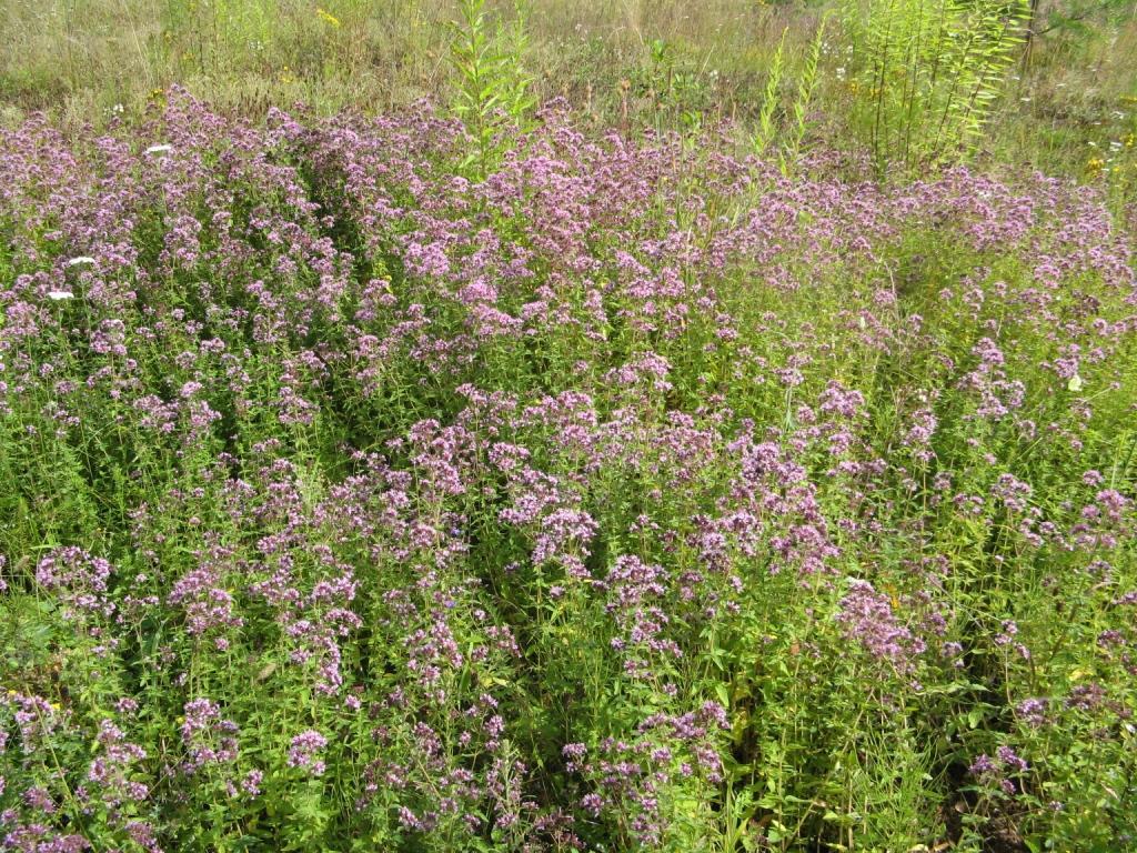 трава душицы в поле
