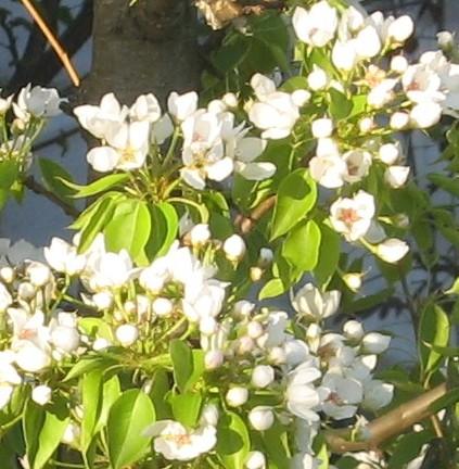 дерево груши в цвету