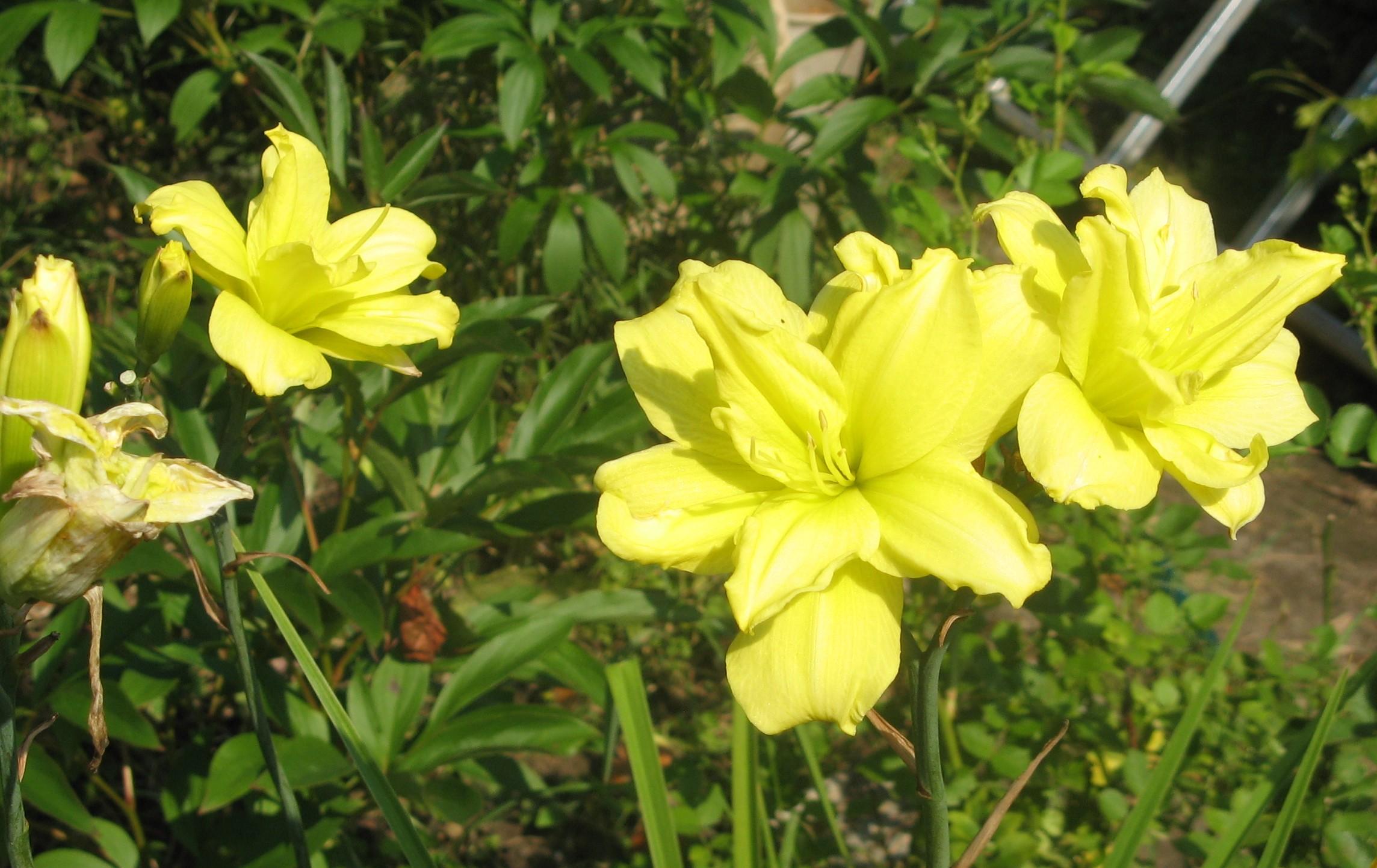 жёлтый махровый лилейник