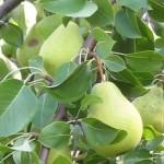 Посадить грушу