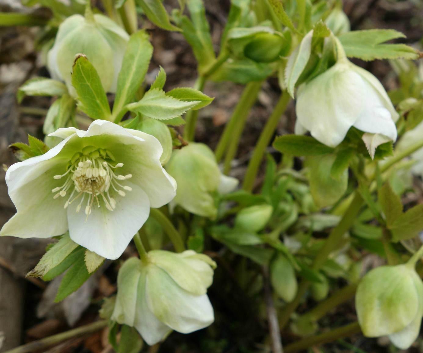 цветок морозник