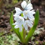 первый цветок пушкиния