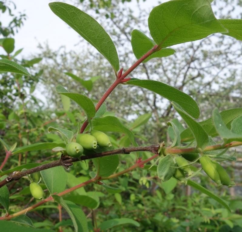 веточка с зелёными плодами