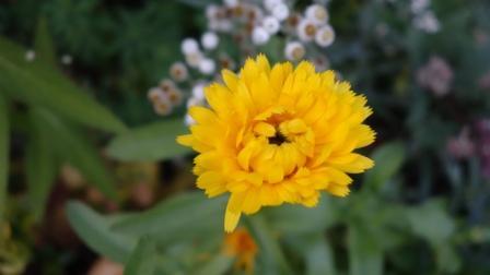 Цветы махровой календулы