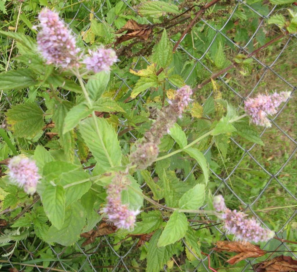 трава мята - лечебные свойства