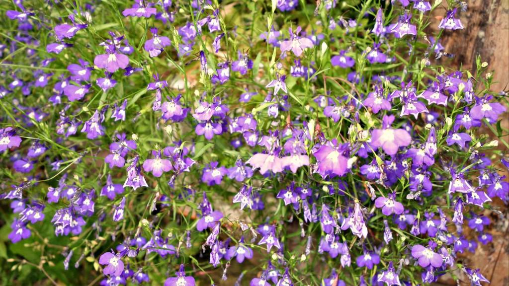 фиолетовые лобелии