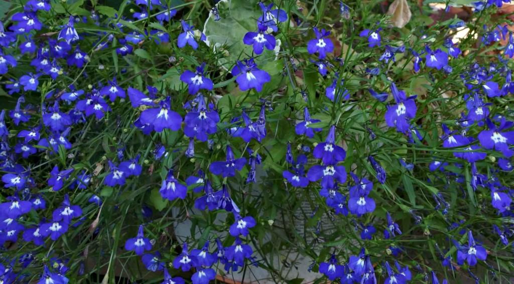 цветы лобелии васильковые