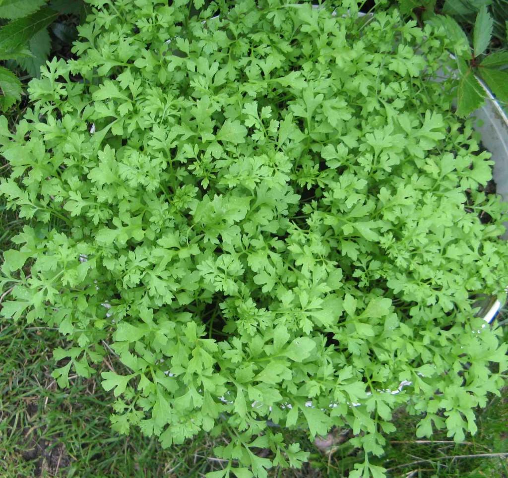 кресс-салат в открытом грунте