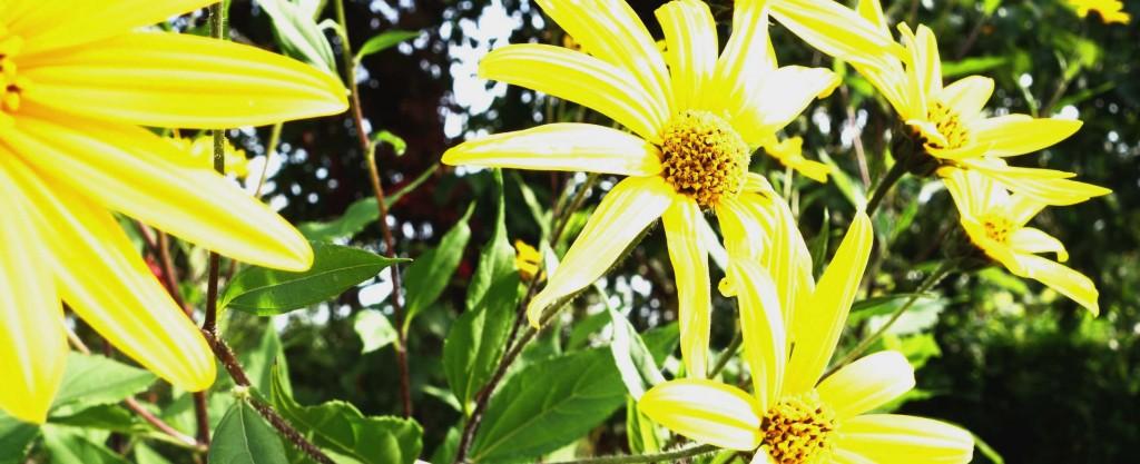 цветок у земляной груши