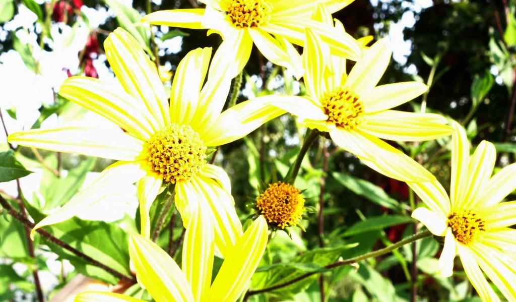 цветки клубненосного подсолнечника