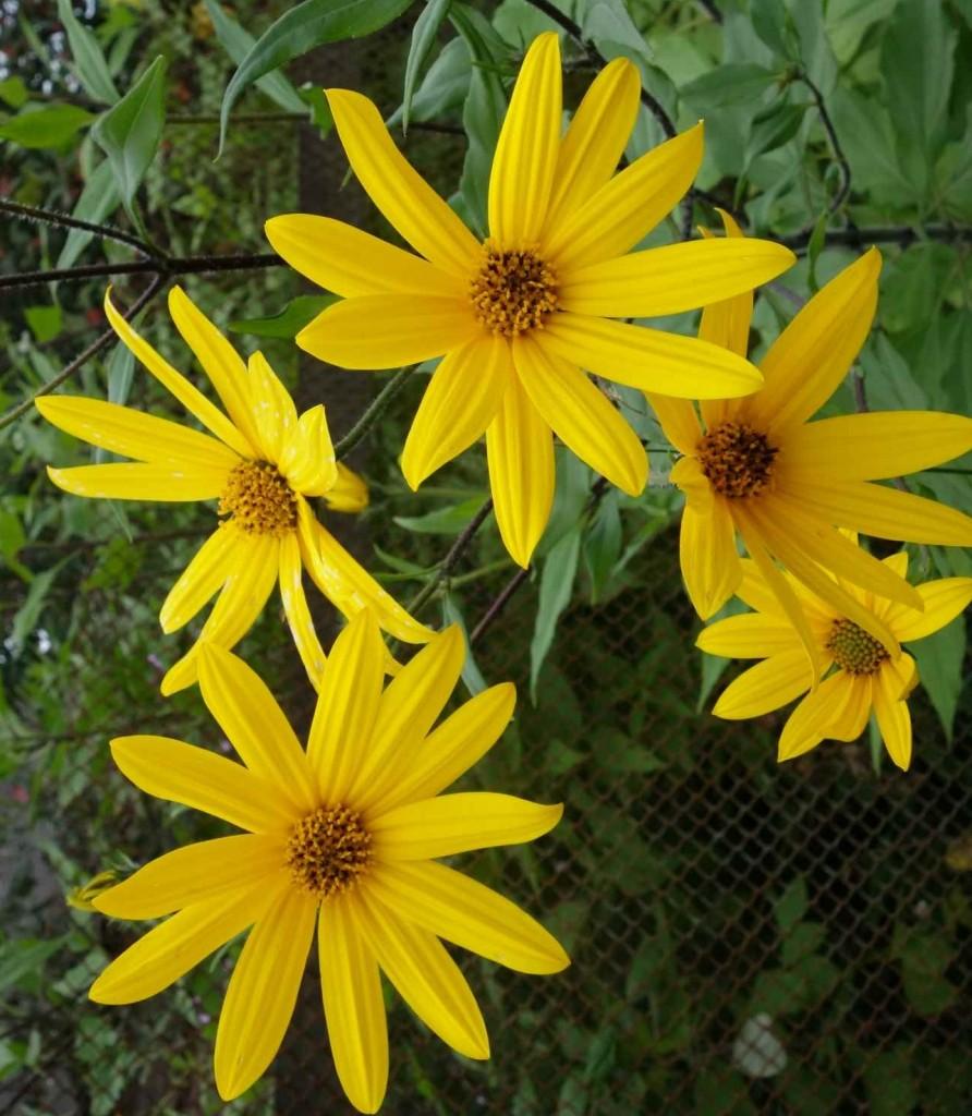 выращивание топинамбура - цветки