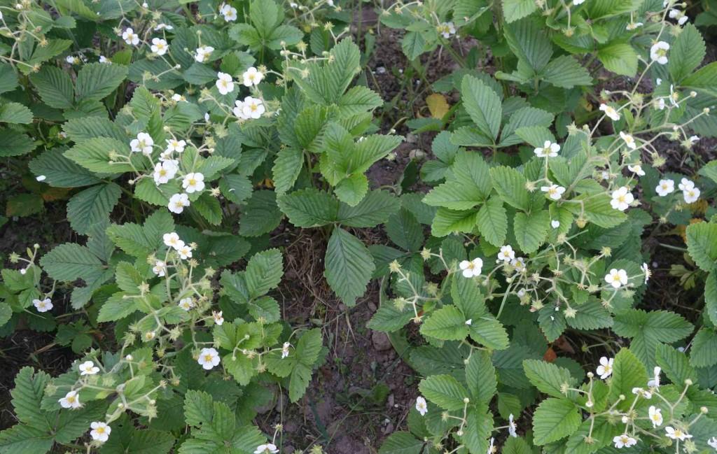 клубника садовая