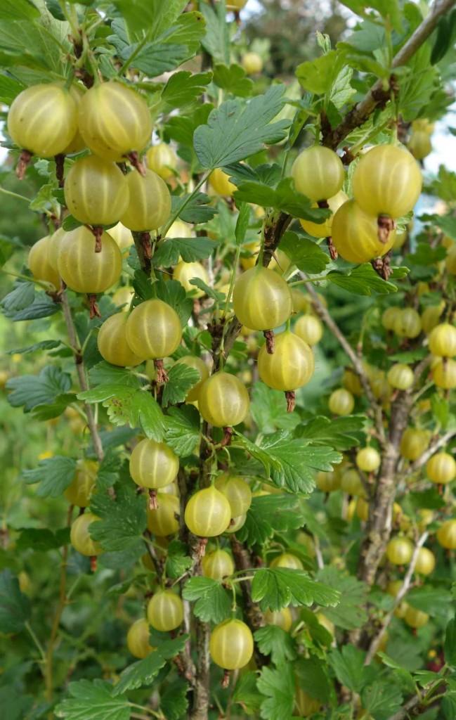 янтарные ягоды