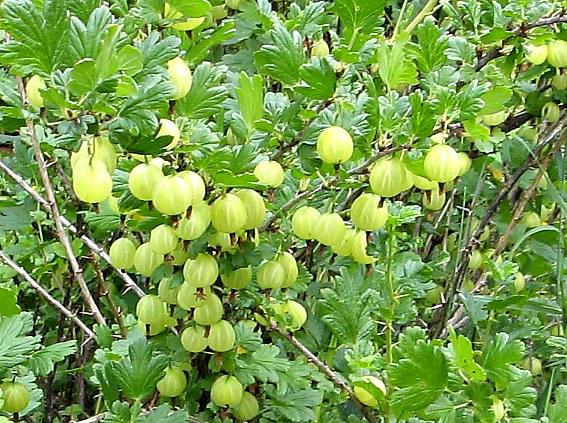 недозрелые ягоды