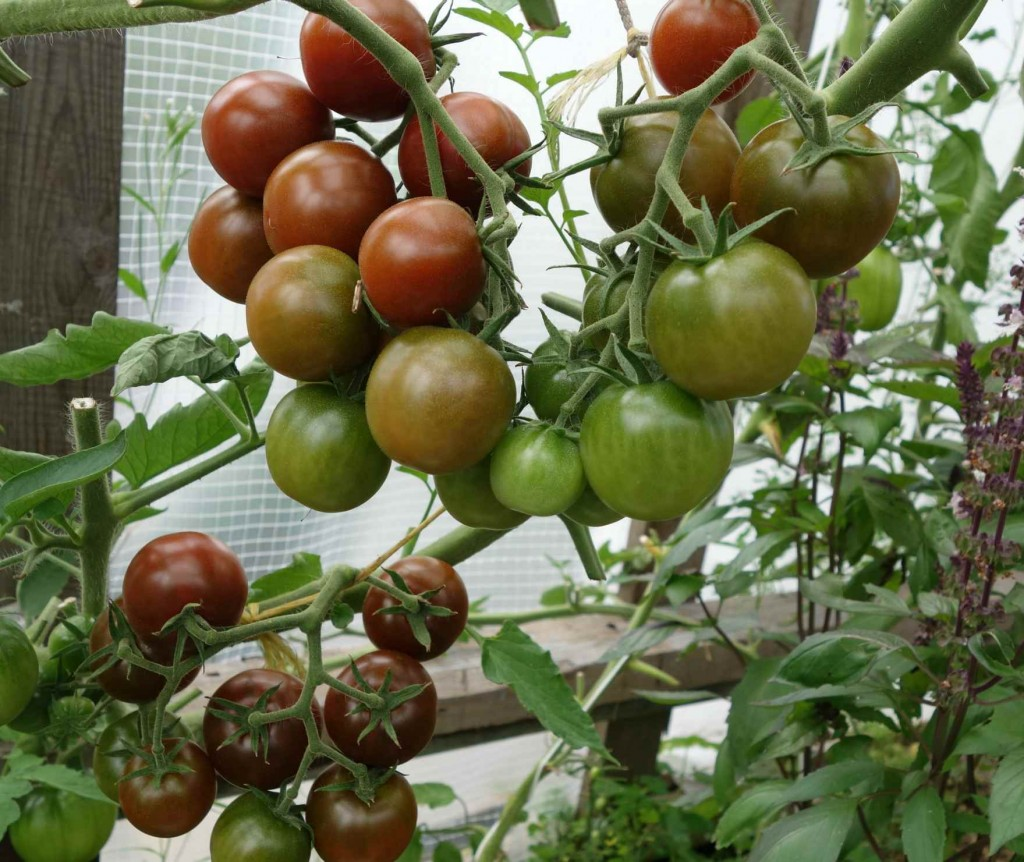 помидоров гроздь
