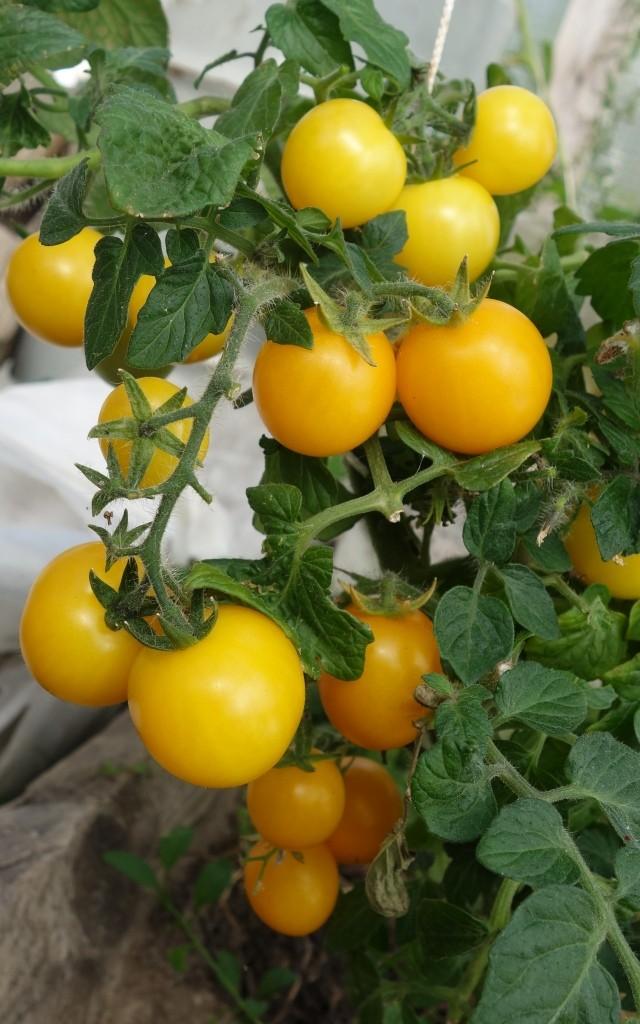 томат черри