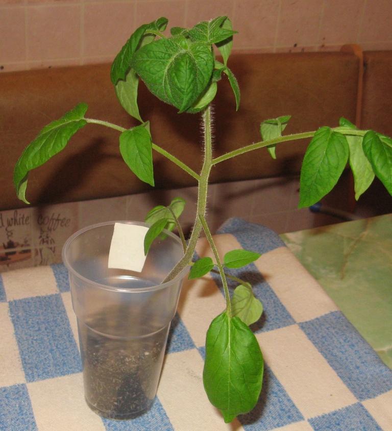 кустик томата  нуждается в дополнительном грунте и питании