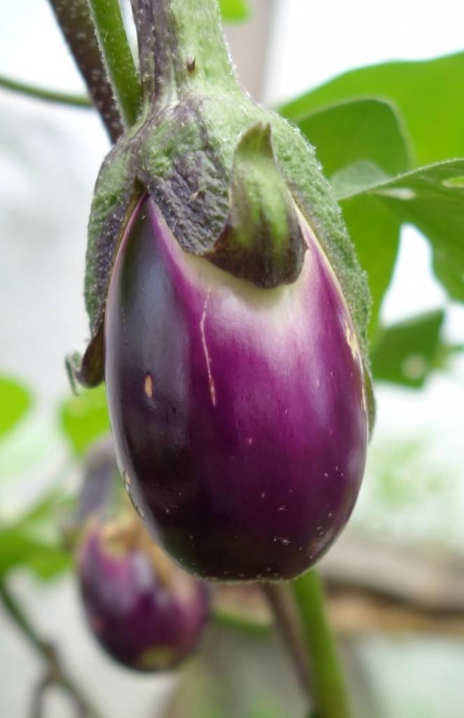 баклажан агротехника выращивания