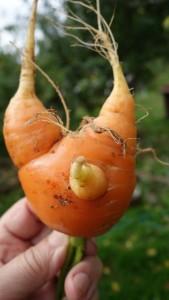 морковка многохвостовая