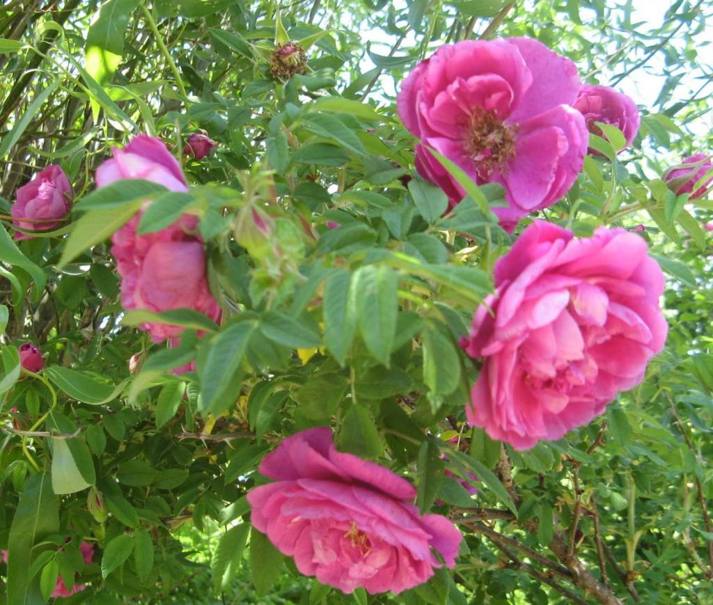 роза - ругоза морщинистая