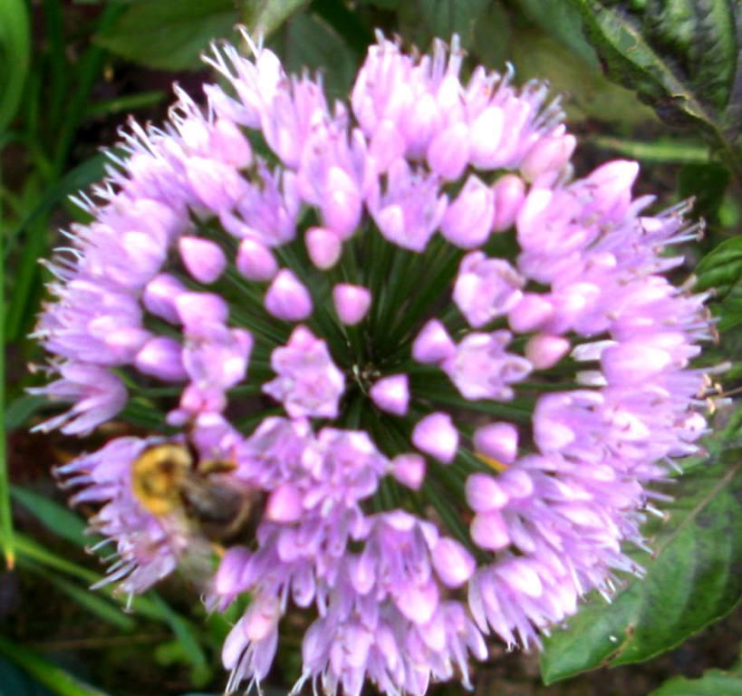 лук - слизун любят пчёлы