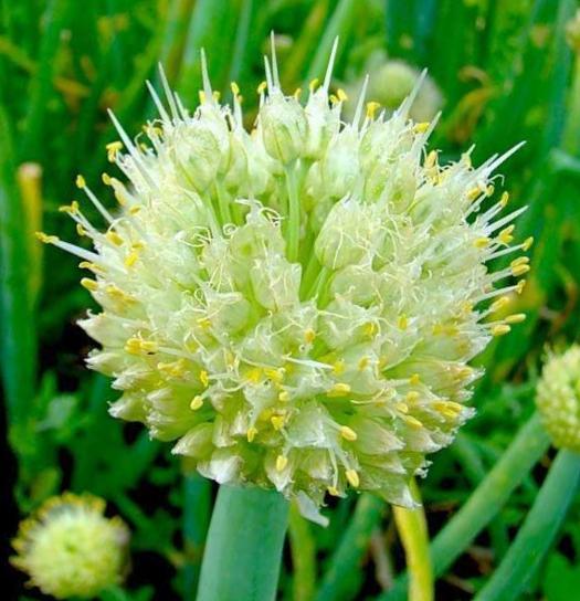 Цветок лука - батуна