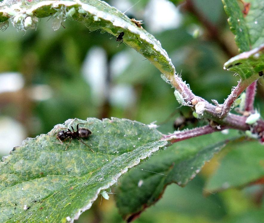 тли и муравей