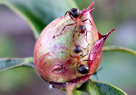 муравьи едят лепестки