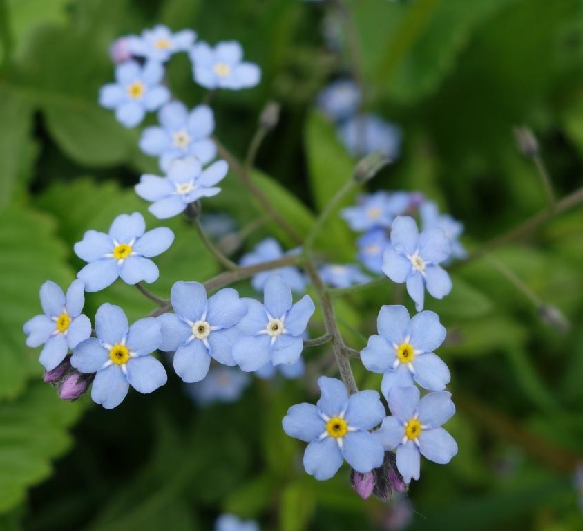 незабудки голубые