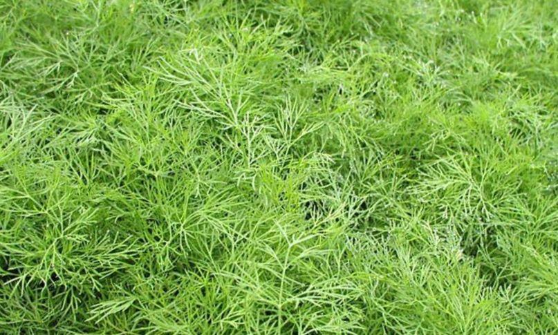 Укроп - выращивание в открытом грунте