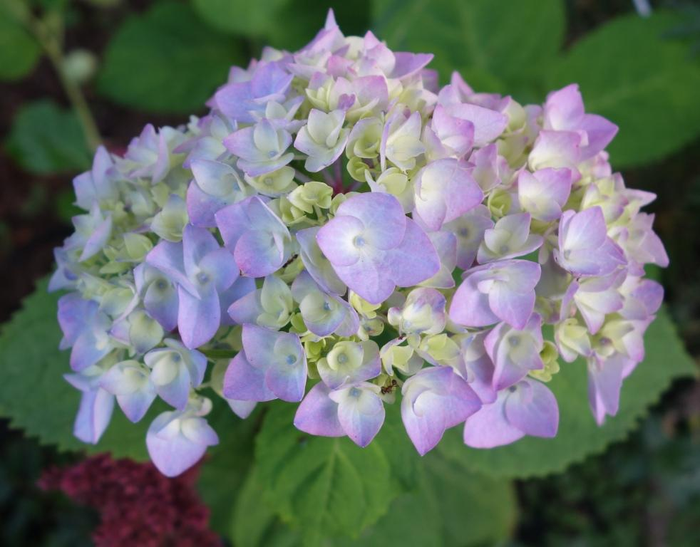 Садовая гортензия: посадка и уход в открытом грунте 1
