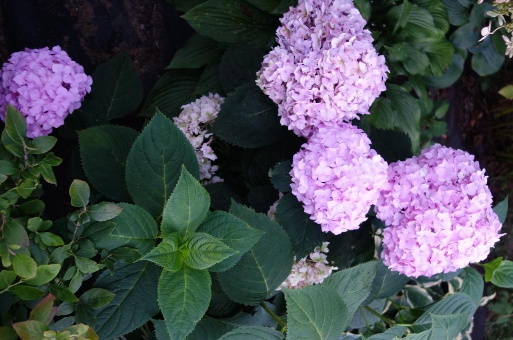 соцветие розовое