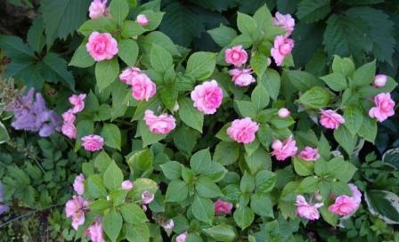бальзамин садовый - посадка и уход, фото 5