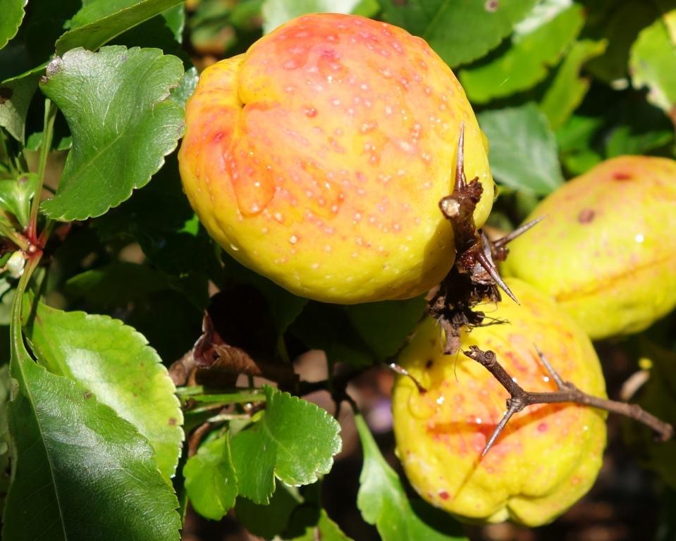 плоды хеномелес Маулея