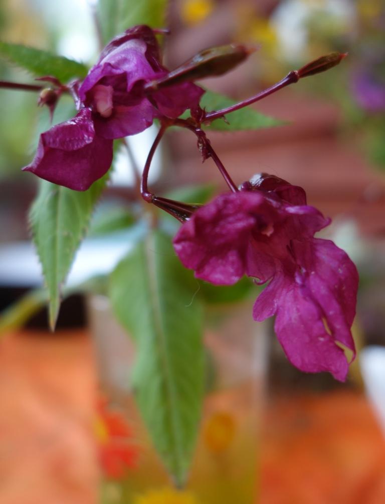бальзамин садовый - посадка и уход, фото 2