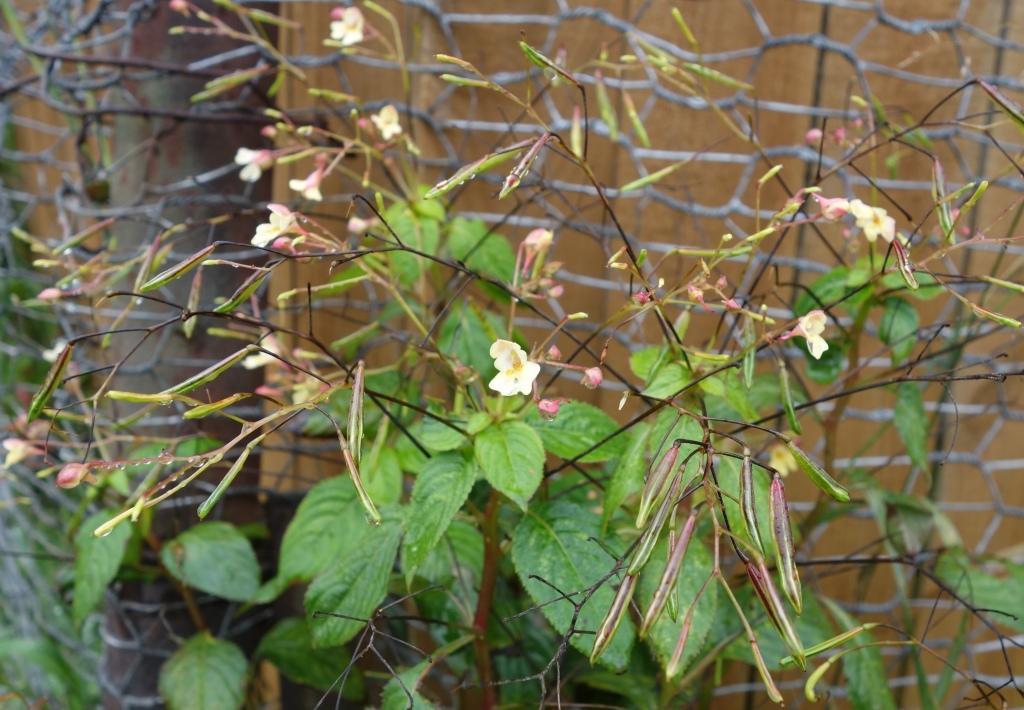 бальзамин садовый - посадка и уход, фото 3