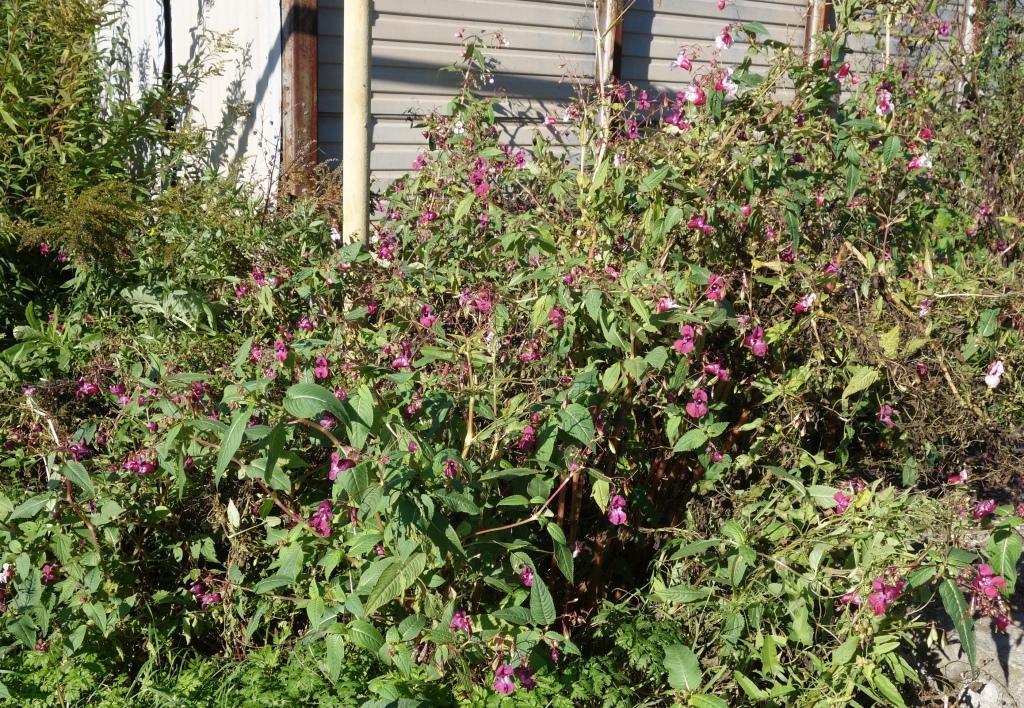 бальзамин садовый - посадка и уход, фото 1