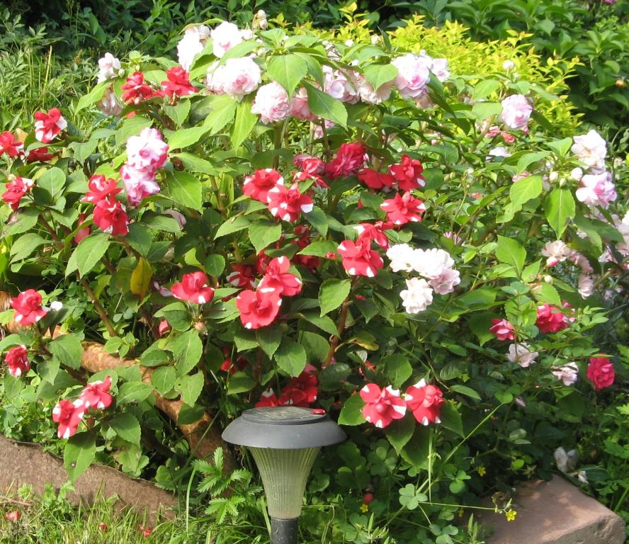бальзамин садовый - посадка и уход, фото 11