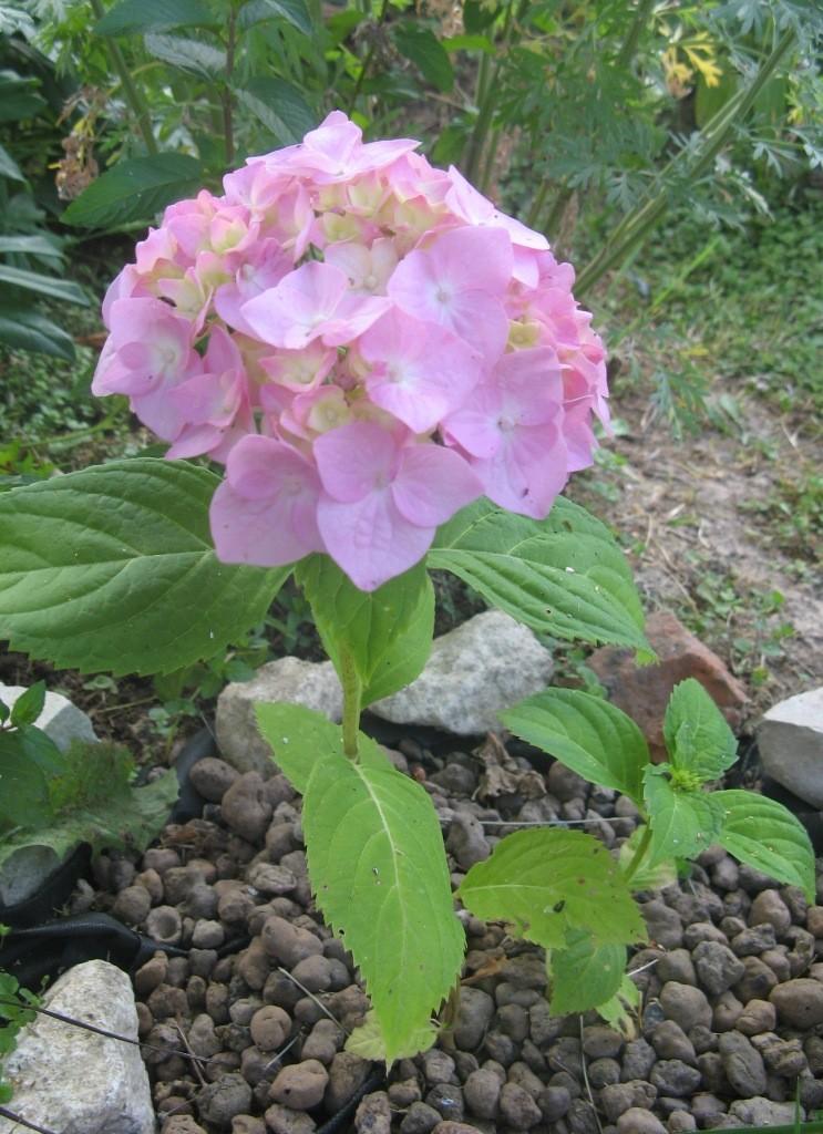 Садовая гортензия: посадка и уход в открытом грунте