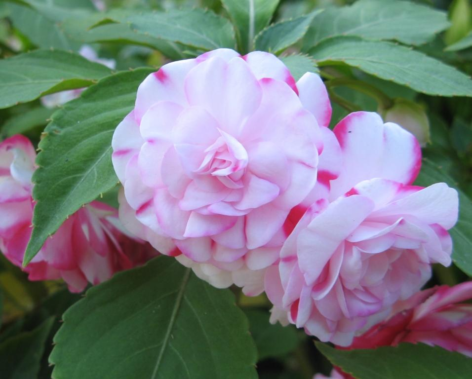 бальзамин садовый - посадка и уход, фото 10