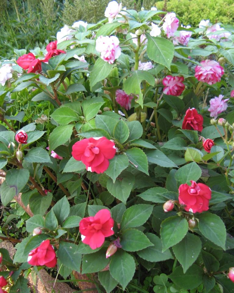 бальзамин садовый - посадка и уход, фото 9
