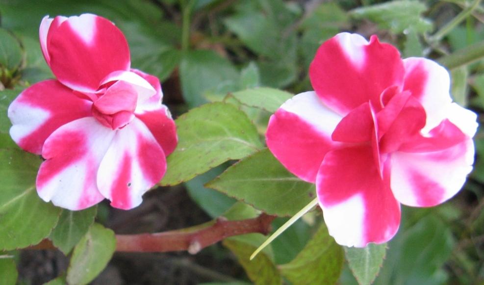 бальзамин садовый - посадка и уход, фото 8